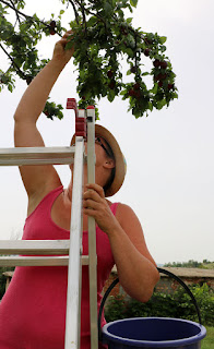 A up a ladder looking for plums
