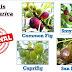 KEBUNA:  Jenis-jenis Pokok Tin Ficus Carica - Ori vs Fake
