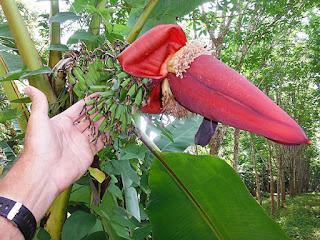 wild edible banana flower