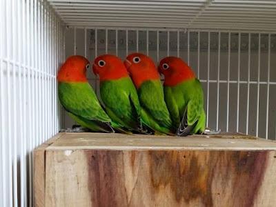 kesudahannya gagal maning gagal maning memiliki lovebird yang anggun Sukses Dalam Burung Lovebird Cara Gampang Memahami Teori Sex Linked Sederhana