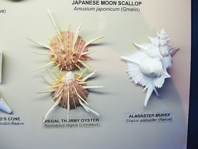 moon scallop
