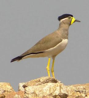 Vanellus malabaricus