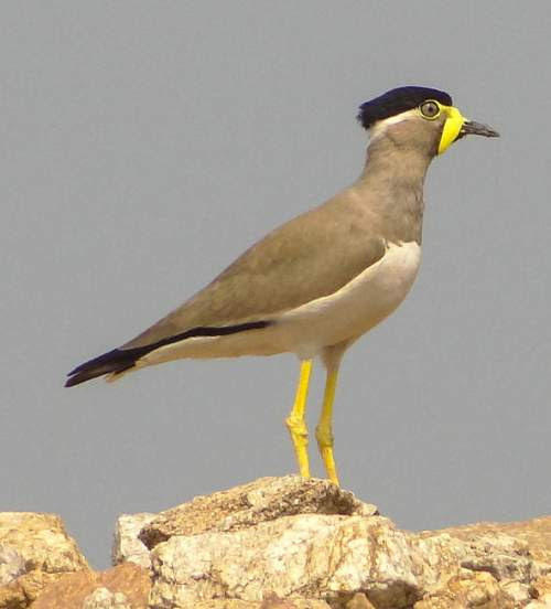 Yellow-wattled lapwing photos