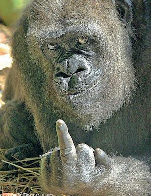 Gemeine Tiere im Zoo - Gorilla zeigt Stinkefinger lustig