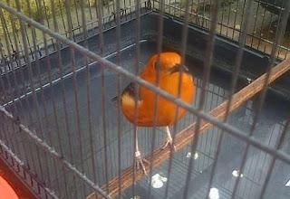 Perawatan Harian Burung Anis Merah