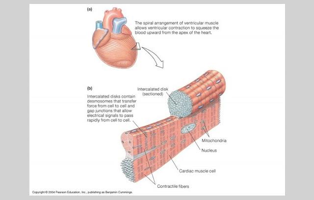 Ciri Otot Jantung