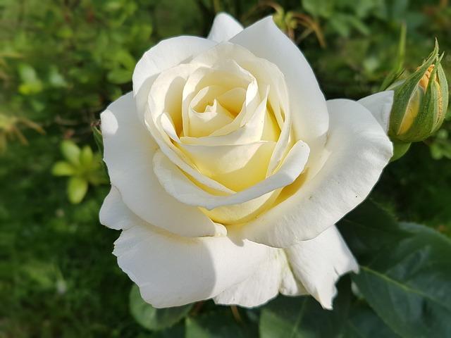 hoa hong trang y nghia gi