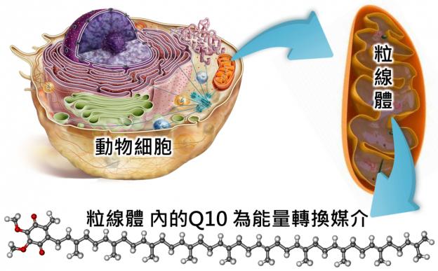 維生素Q? 輔酶 Q10 美容強心抗衰老 - 維生素療法 & iHerb保健品推薦