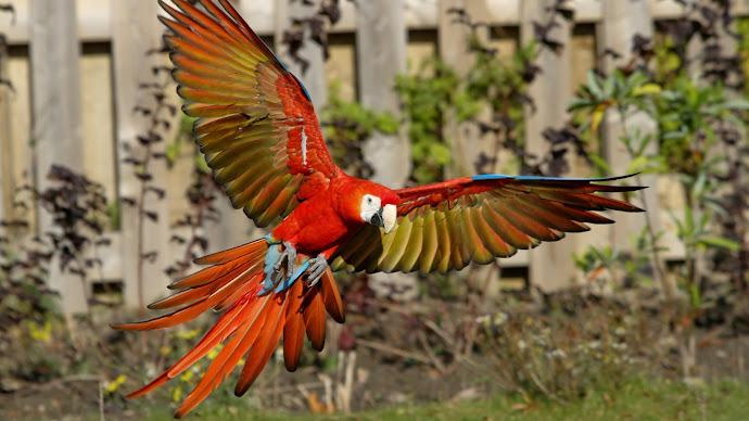 Wallpaper: Ara Parrots. Beautiful Birds