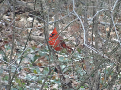 cardinal in the bushes