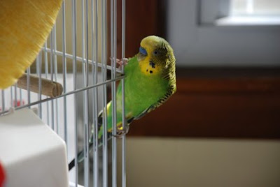 green and yellow boy parakeet