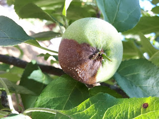 muumiotauti omena