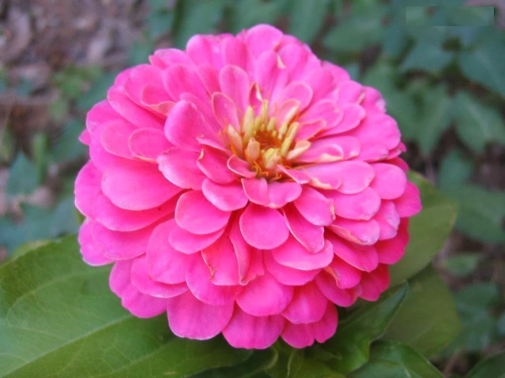 Zannia Summer Flowers for Home Garden