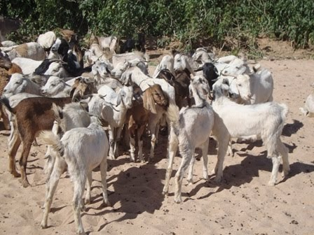 GENETIC IMPROVEMENT FOR AFRICA: Sudanese Goats Main Breeds