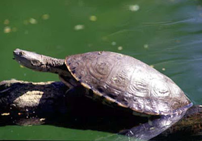Tartaruga da Amazônia (Podocnemis expansa)