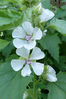 Guimauve officinale - Mauve blanche - Althaea officinalis