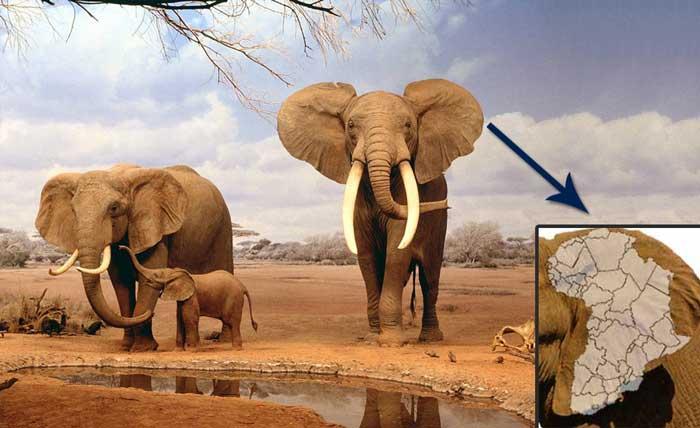 elephant ears