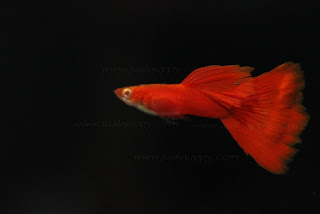 Jual Albino Super Full Red ,  Harga Albino Super Full Red ,  Toko Albino Super Full Red ,  Diskon Albino Super Full Red ,  Beli Albino Super Full Red ,  Review Albino Super Full Red ,  Promo Albino Super Full Red ,  Spesifikasi Albino Super Full Red ,  Albino Super Full Red  Murah,  Albino Super Full Red  Asli,  Albino Super Full Red  Original,  Albino Super Full Red  Jakarta,  Jenis Albino Super Full Red ,  Budidaya Albino Super Full Red ,  Peternak Albino Super Full Red ,  Cara Merawat Albino Super Full Red ,  Tips Merawat Albino Super Full Red ,  Bagaimana cara merawat Albino Super Full Red ,  Bagaimana mengobati Albino Super Full Red ,  Ciri-Ciri Hamil Albino Super Full Red ,  Kandang Albino Super Full Red ,  Ternak Albino Super Full Red ,  Makanan Albino Super Full Red ,  Albino Super Full Red  Termahal,  Adopsi Albino Super Full Red ,  Jual Cepat Albino Super Full Red ,