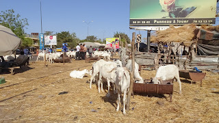 Bamako Goat Market has goats for every need