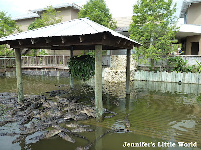 Lots of alligators at Gatorland, Florida
