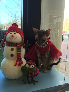 Kely the Cornish Rex in a red dress