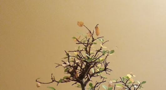 CHINESE ELM #2 - AUTUMN UPDATE