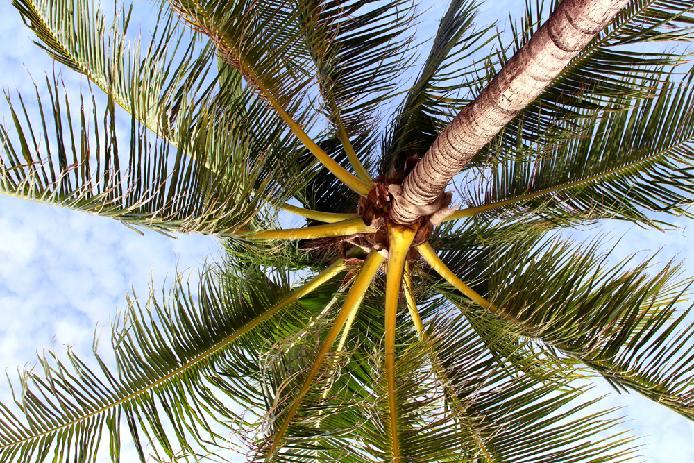 Palm tree at Kamala Beach, Phuket, Thailand | travel blog