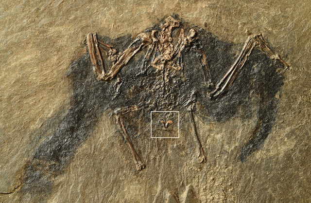 Researchers discover 48-million-year-old lipids in a fossil bird