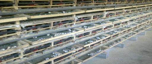 3 cara mudah untuk meningkatkan produksi telur puyuh