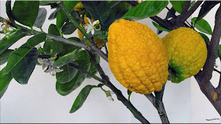gambar buah jeruk sukade