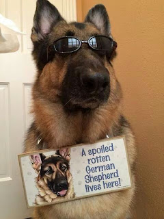 Dog Humor : Living with a spoiled German Sheperd