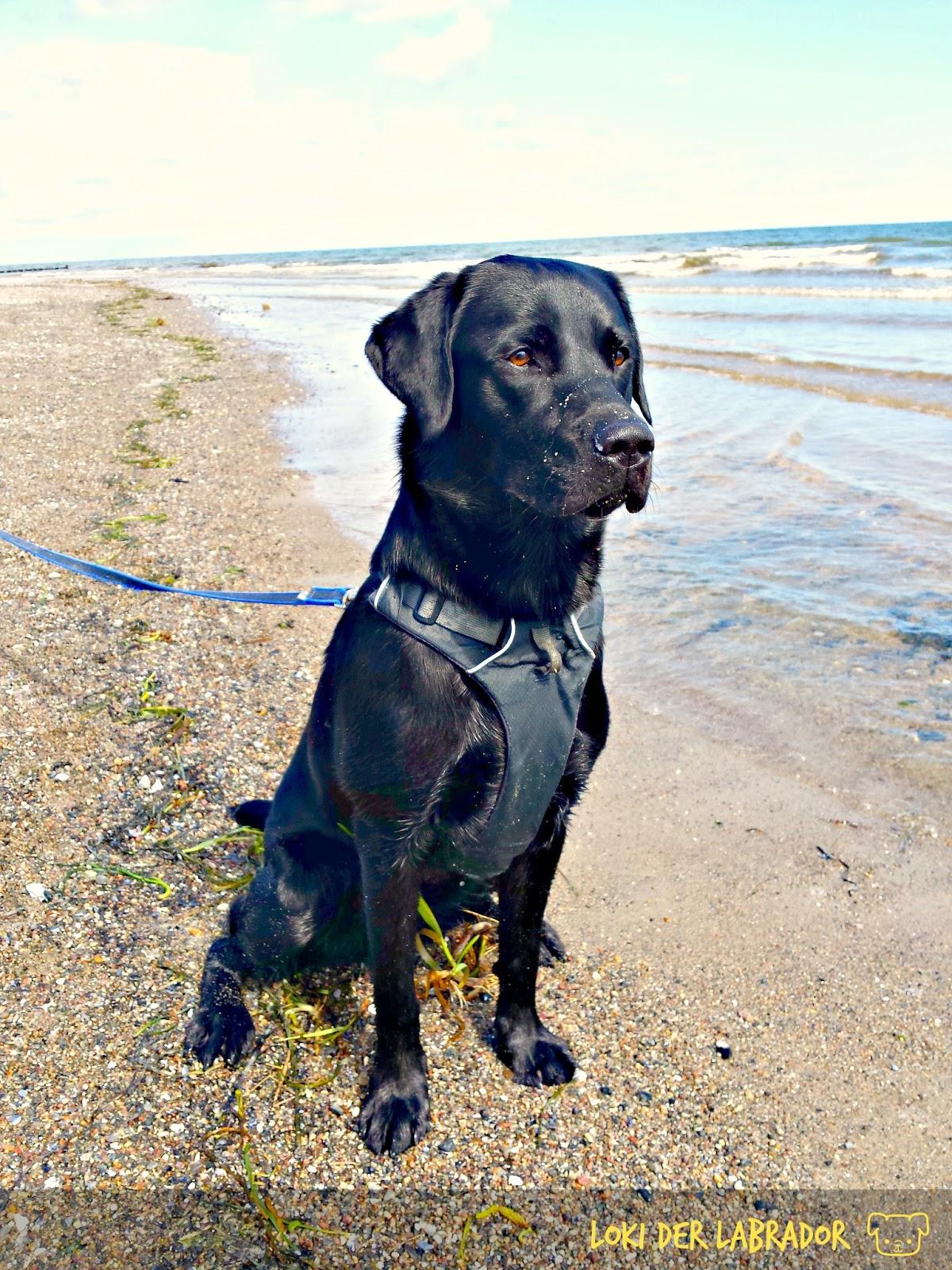 Labrador Loki am Strand an der Ostsee