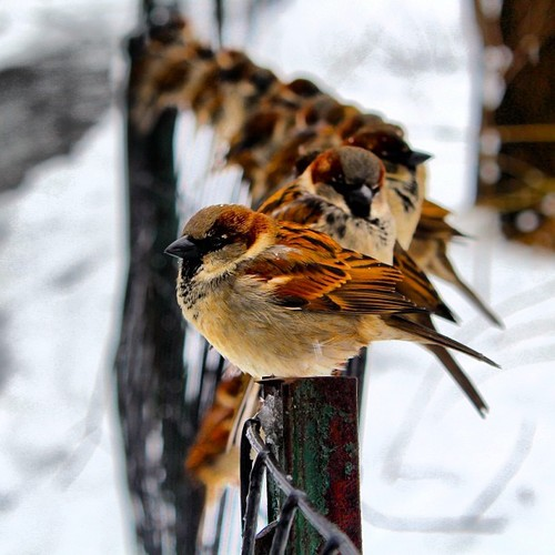 imagine vrabii