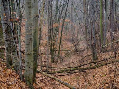 Grzyby 2016, grzyby w grudniu, grzyby nadrzewne,drewniak-szkarłatny-Hypoxylon-fragiforme, gmatwica-chropowata-Daedaleopsis-confragosa, Mycena sp. grzybówka, Coriolus versicolor wrośniak różnobarwny, Exidia nigricans kisielnica kędzierzawa, Chondrostereum-purpureum-chrząstkoskórnik-purpurowy,  żylak-promienisty-Pochlebia-radiata, Nectria-cinnabarina-gruzełekcynobrowy