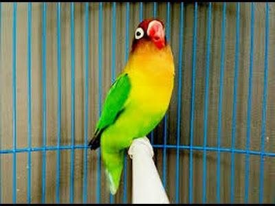 cara memilih burung lovebird muda