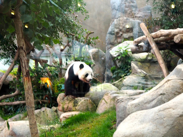 Giant panda in Ocean Park, Hong Kong