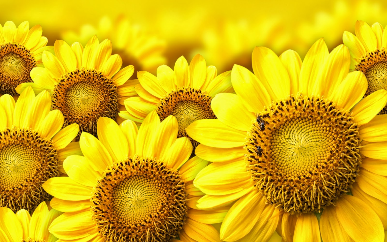 10 Wallpaper Bunga Matahari | Deloiz Wallpaper