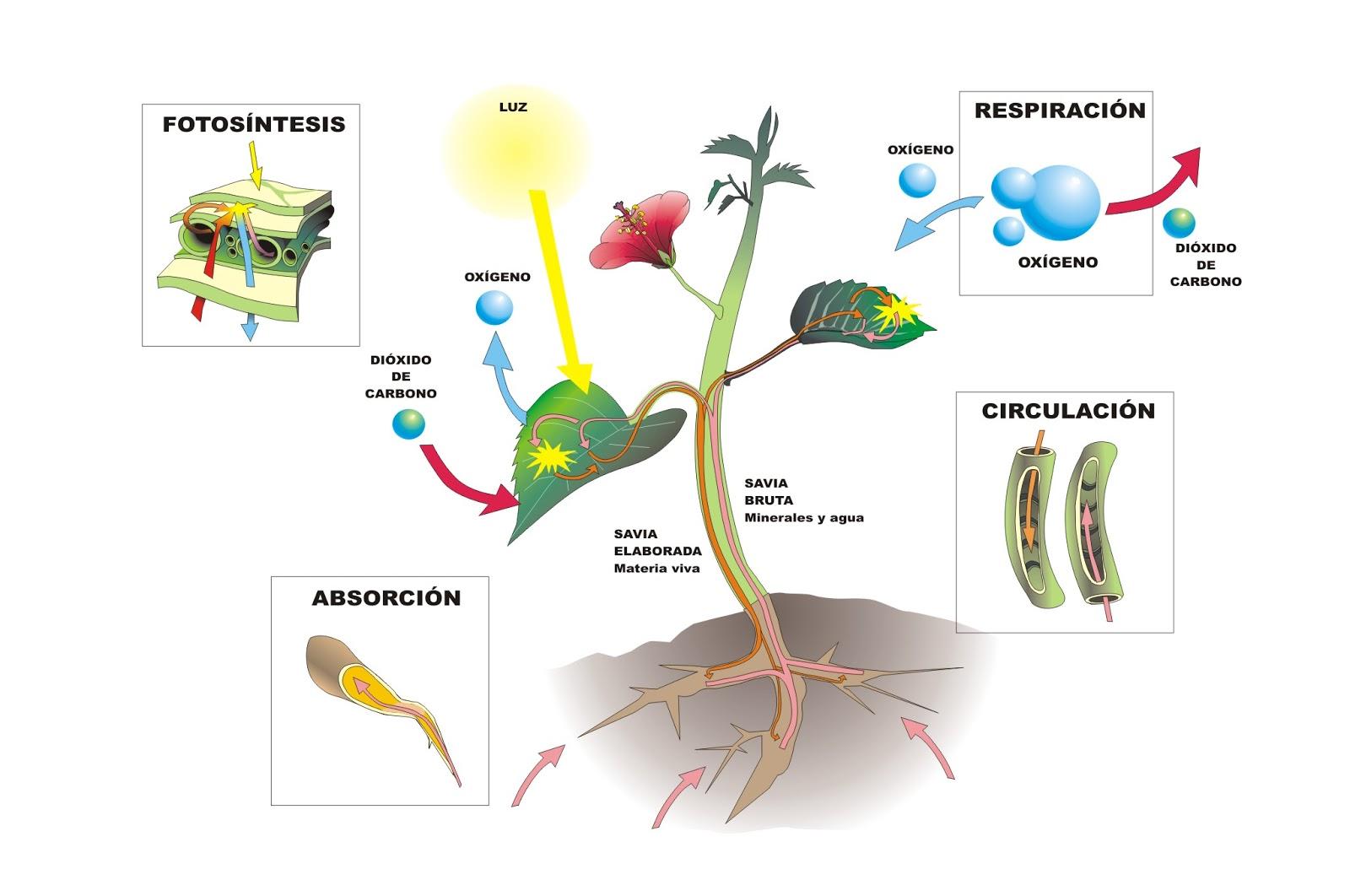 Imágenes De La Respiración En Las Plantas