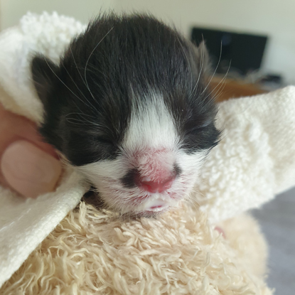 black and white kitten wrapped in towel