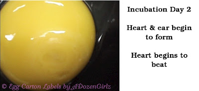 Chicken egg incubation Day 2: Heart & ear begin to form. Heart begins to beat.