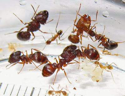 The minor, median and major workers with a gyne and brood of a rare trimorphic species of Pheidole ant
