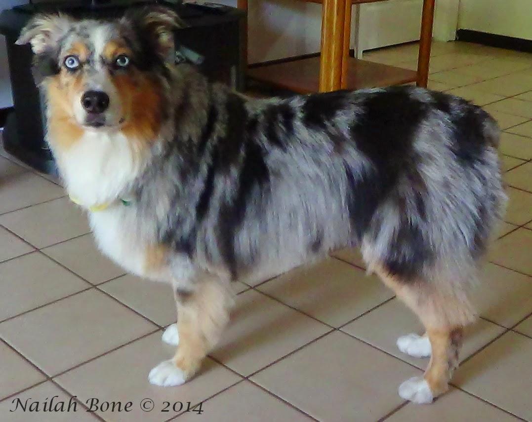 Monday Mischief Summer Puppy Cut for my Silly Australian Shepherd