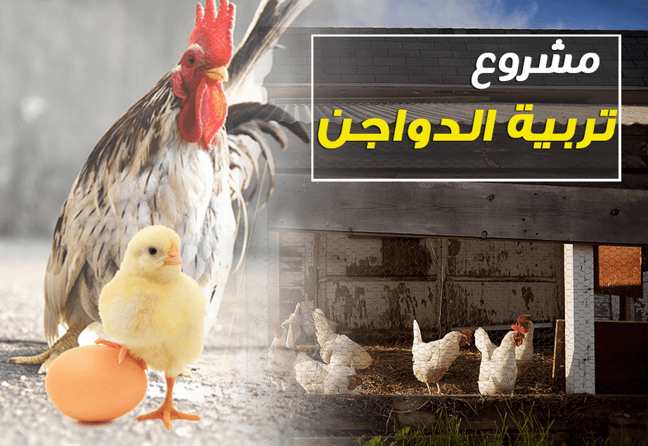 دراسه جدوي فكرة مشروع تربية الدواجن في المنزل 2018