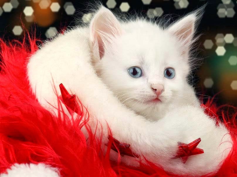 Christmas-cat-appearance
