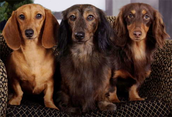 image of three dachshunds sitting on a couch