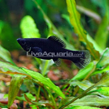 Dunia Ikan Hias - Black Molly