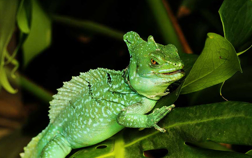 Plumed Basilisk | The Biggest Animals Kingdom