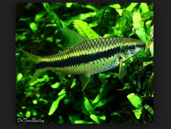 Ikan Hias Siamese Algae Eater (SAE) Pemakan Lumut Kaca Aquarium