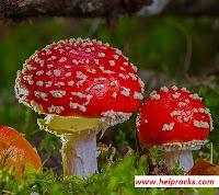 Mushroom मशरुम