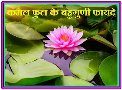 Multicolored Benefits of Lotus Flower